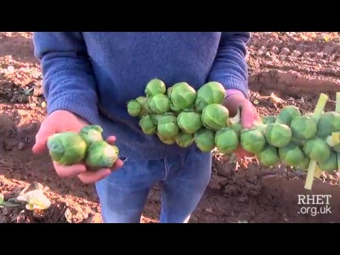 Brussels Sprout Harvesting