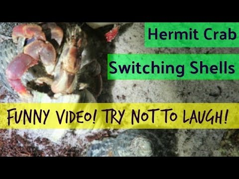 Land Hermit Crab Switching Shells | Funny Video, Try Not To Laugh | MokenchiTV