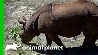 Asian Onehorned Rhino Gets Settled Into Her New Home  The Zoo