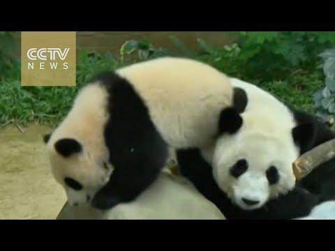 Malaysia votes to call giant panda cub
