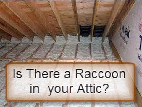 IS THERE A RACCOON IN YOUR ATTIC? HERE IS A TEST!