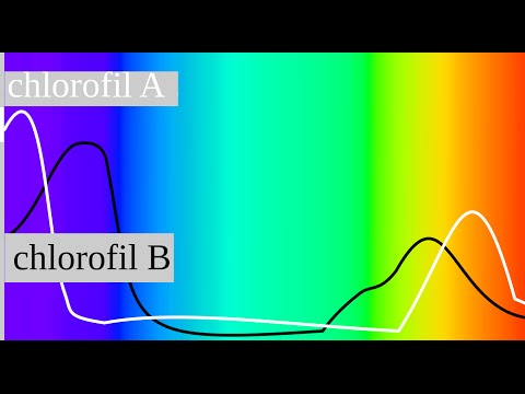 Absorption of Light by Chlorophyll