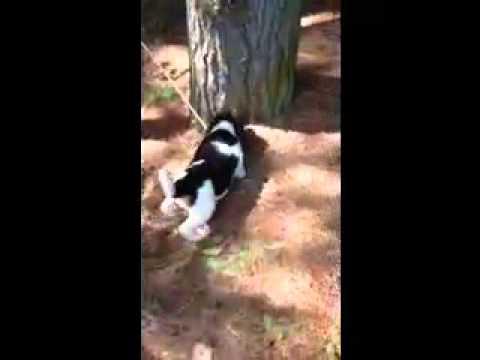 Purebred AKC Registered Beagle Puppy