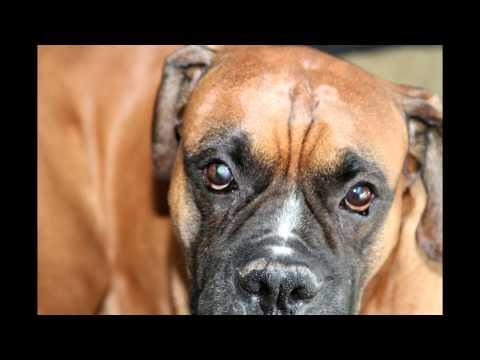 dog eye ulcer-indolent ulcer--CURED-Jr's story