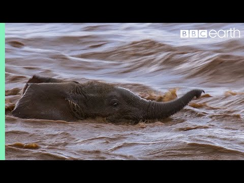 Elephant babies struggle against the current to keep up with mothers | BBC Earth