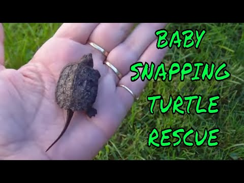 Baby Snapping Turtle  in my Backyard ~ Rescue and Release