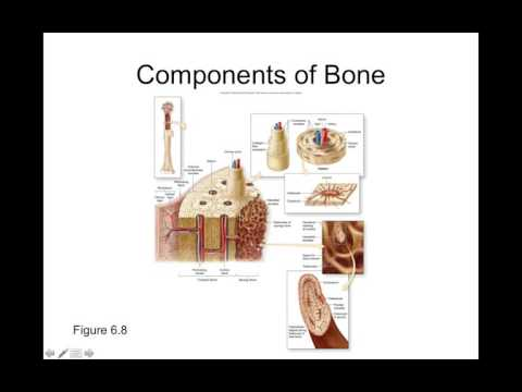 Chapter 6 Types of Bone Growth Part2