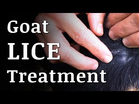 Natural GOAT LICE Treatment