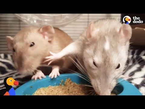 Rats Fight Over Food Bowl | The Dodo