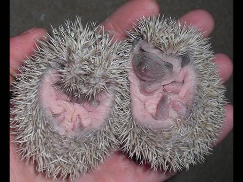 Pet Show - How to handle hedgehog babies!