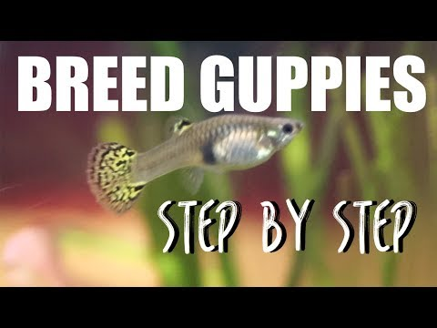 How to Breed Guppies EASY