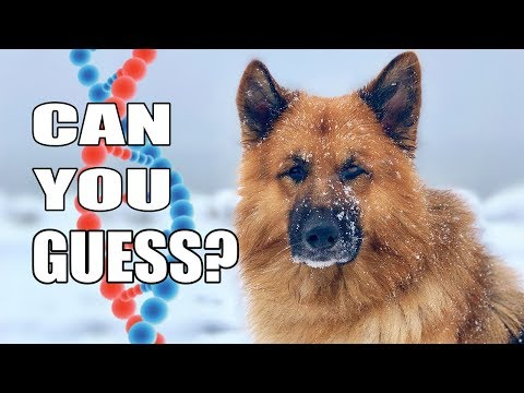 German Shepherd Rescue Dogs Get DNA Tested - You won't believe the results!