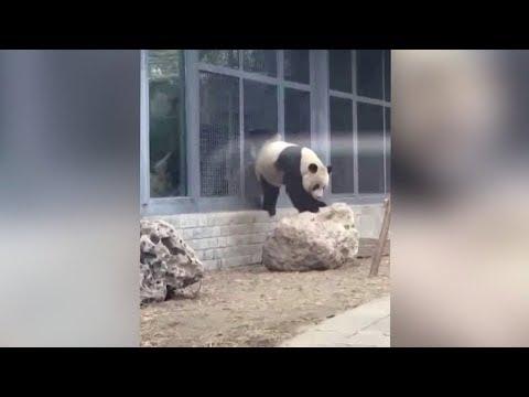 Giant panda pees like a dog