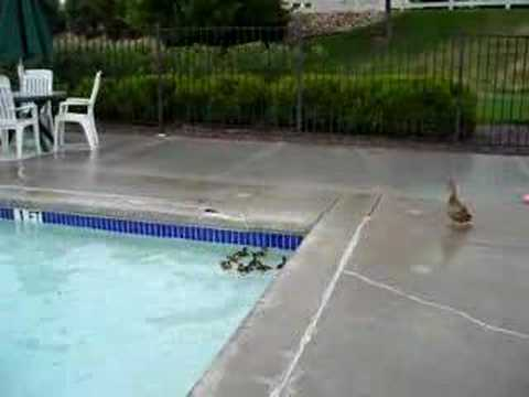 Rescuing baby ducks from a pool