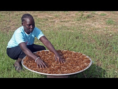The Termite's festival: Catching, drying, enjoying a delicacy