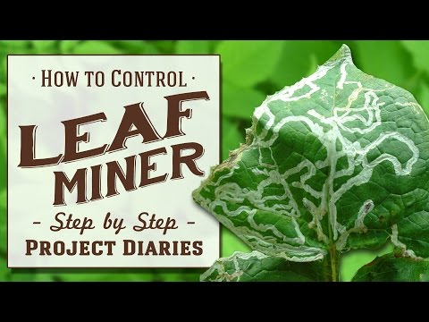 ★ How to: Control Leaf Miner (A Complete Step by Step Guide)