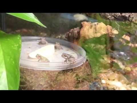 Baby Grey Tree Frogs eating fruitflies