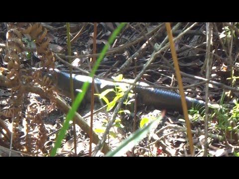 AwA Australian Land Mullet (large skink)