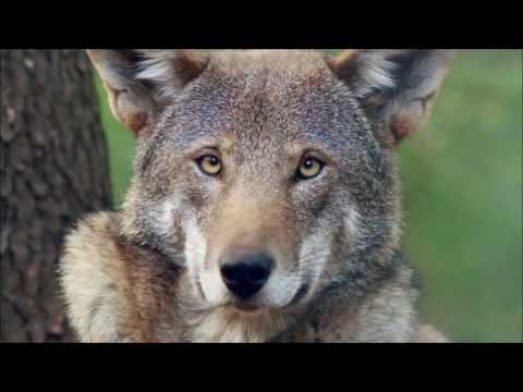Look Into the Eyes of a Red Wolf