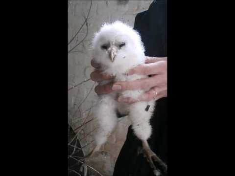 What noise does a Barn Owl make?