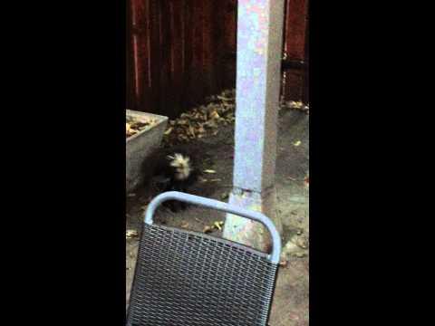 Skunk vs. Cat, Round 1