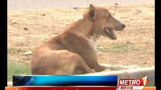Stray dogs in the city of Karachi ( Reported by Aziz Arif )