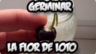 Como Sembrar O Germinar La Flor De Loto || La Huertina De Toni
