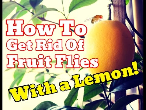 [PROOF] How To Get Rid Of Fruit Flies WITHOUT Apple Cider Vinegar - Use Lemons