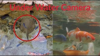 Awesome Koi Fish Pond!(70+Fish) Bahamas Day (2)