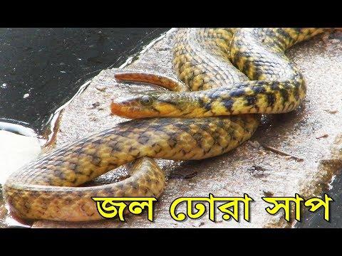 বিশালাকার নির্বীষ জল ঢোঁড়া সাপ | Jol Dhora Saap | A Big Indian Water Snake taking Sun Bath