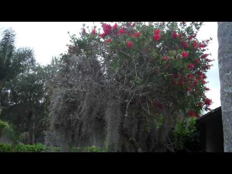 Moss killing bottle brush tree. Nelsonspestcontrol.com