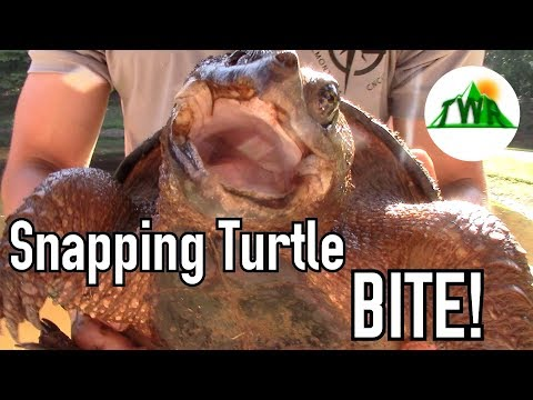 BIG Snapping Turtle Bites My Hand And Won't Let Go...Now What?