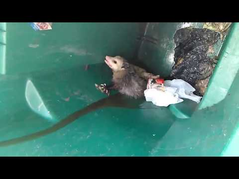 removing a possum from my trash can.