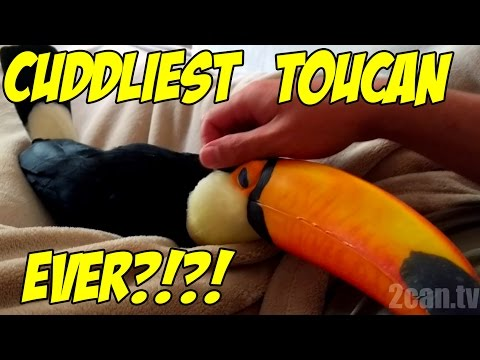Toucan cuddles just like a PUPPY! (Ripley the Toucan)
