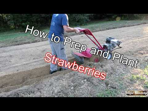 Planting Strawberries in the Fall  | Useful Knowledge