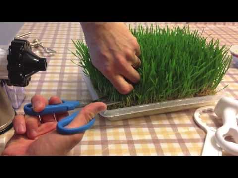 Home Grown Wheatgrass Tutorial and First Shot Experience
