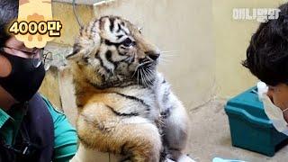 한국 호랑이 남매 태어나 첫 주사 맞고 보인 반응ㅋㅋㅣBaby Tiger Get A Vaccine  Shot For The First Time In Their Life