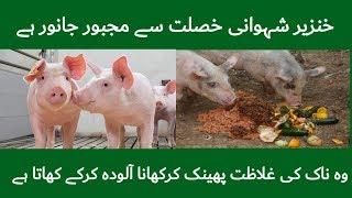 Why Pig Is Haram In Islam    Pig Is Haram In Islam    اسلام میں خنزیر کیوں حرام ہے   