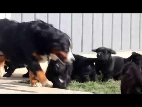 Bernese Golden Mnt Dog Puppies