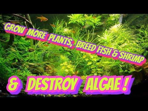 How to Get Rid of Algae in Your Aquarium + Grow Plants Fast -My 'Secret', Easy- 2 Fish Tank Solution