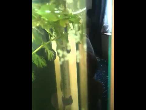 Breeding Emerald Green Cory Catfish