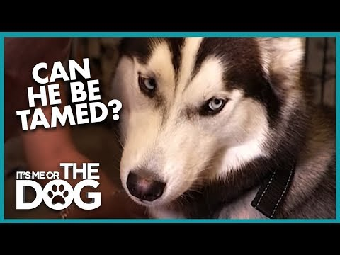 Can This Aggressive Husky Dog Be Reformed?