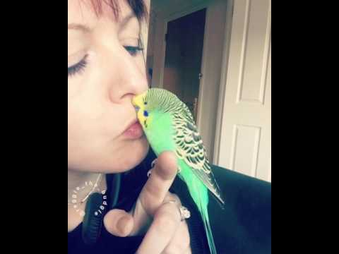 Reggie the hand tame budgie loves getting kisses from his Mum