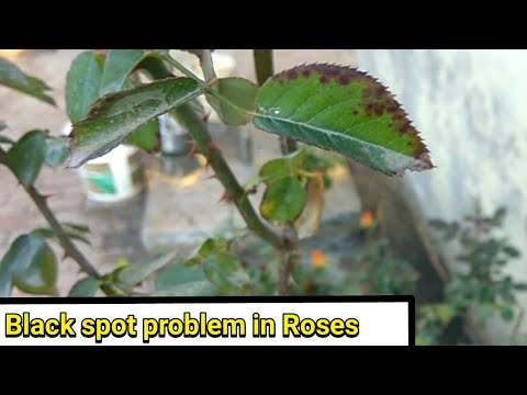 How to save black spoted rose plant || only 3 step (hindi/urdu)