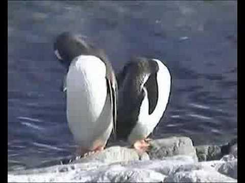 Gentoo Penguins, South Shetland Islands