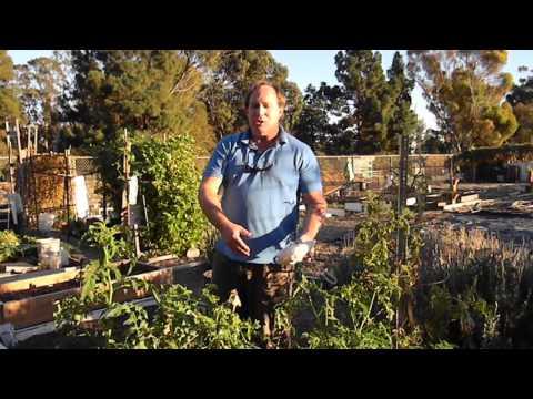 Tomato Plant Gardening Organic Pest Control With Ladybugs