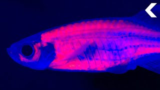 Drug-Addicted Fish Are Helping Scientists Solve the Opioid Crisis
