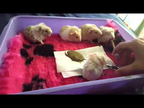 Supplement feeding 5 cute baby guinea pigs