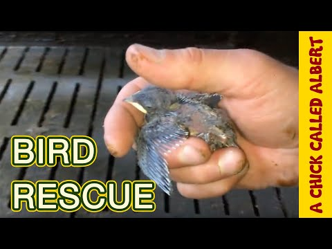 Tried to save a baby swallow
