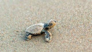 Newborn baby turtle in Zakynthos, Kalamaki Beach
